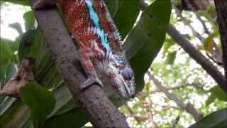 Chameleon caught her snacks