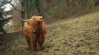 Friendly Highland Cattle
