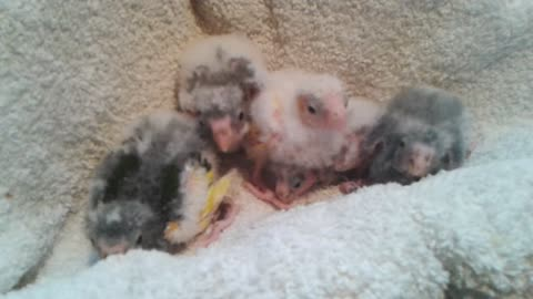 'Voice activated' baby parrots squawk on command