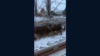 4 deer eating apples near house
