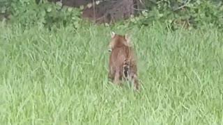 Battle Between Baby Alligator and Bobcat