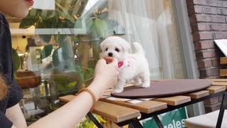 Baby bichon frise puppy video doll?puppy? cutest puppy