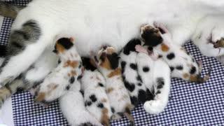 Mom Cat Feeding Her Baby Kitties.