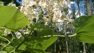 Beautiful Catalpa flowers.
