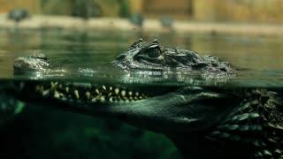 crocodile top