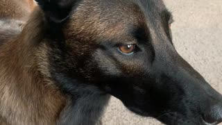 Life with a Belgian Malinois