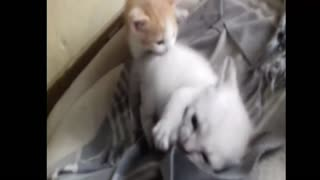Baby Cats fighting