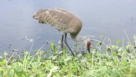 Sandhill Crane feeds near lake