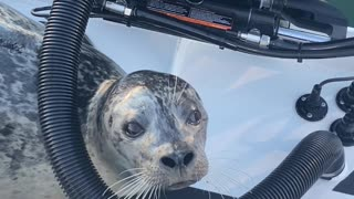 Seal Climbs Aboard Boat Begging for Fish Scraps