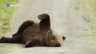 Do pet brown bears live with Russians?