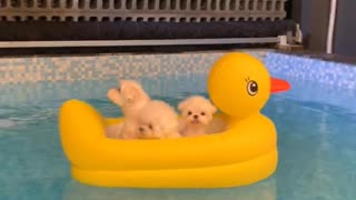 These cute Pomeranians are so cute having fun in the pool!