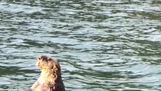 Sea Otter Swims by Boat Chewing Shells