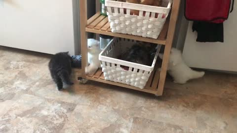 Persian cute kittens playing with each other