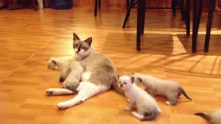 mother cat and her six children kittens