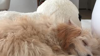 Brown dog asleep white couch fire on tv