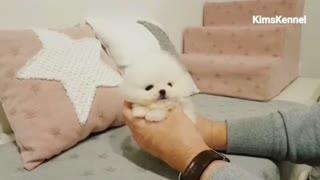 White Pomeranian Puppy Ball Overloaded cute