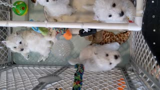 Mouthy Westie puppies