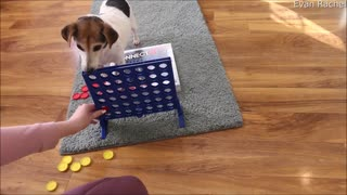 Jack Russell Learned to Play Connect 4