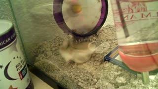 Kamala Harris hamster running in circles