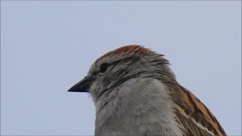 Little Bird Singing It's Songs