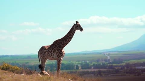 newly born giraffe vidéos