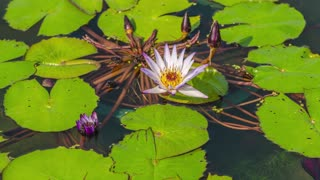 Beautiful Time Lapse Video Of A Water Lilly Blooming