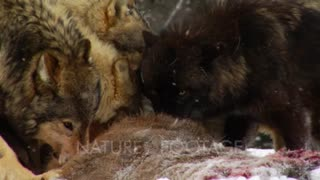 Wolves, Wolf Pack Feeding On Whitetail Deer