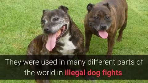 Dog fights. Top 10 Dog breeds that were used for fights