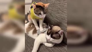 Baby Cat massage his Sister with her feet !