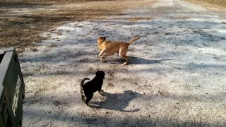 Puppies Bobo and Baby Abby Playing