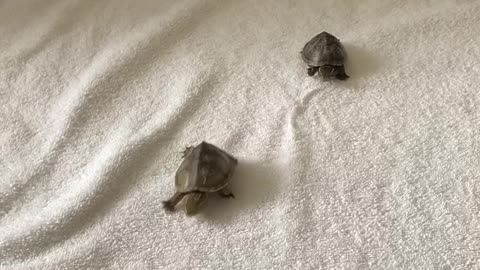 Adventures of Spocky and Troi: Turtles, Start Your Engines!