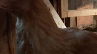 Chicken neckin
