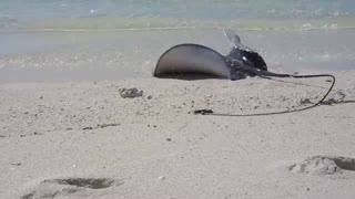 Shark vs Stingray on the Great Barrier Reef Footage