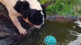 Bulldog adorably struggles to fetch ball from water