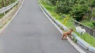 Dog walking comfortably
