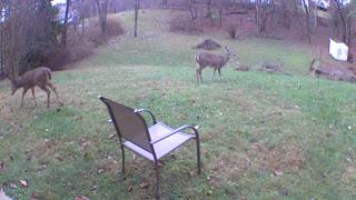Deer hanging out in my yard