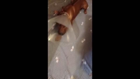 Big Ridgeback Dog Learns to Like His Cone