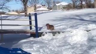 Silly bulldog loves to go down the park slide