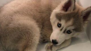 Husky Puppy Cools Down Inside Refrigerator Shelf