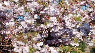 Beautiful Japanese Cherry Blossom