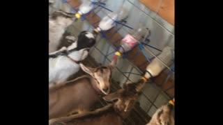 Baby goats drinking bottkes