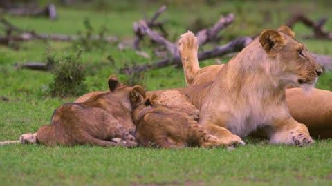 Lion Cubs Feeding