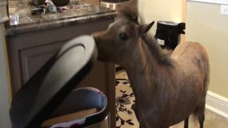 Miniature Horse Hangs Out In Owner's Kitchen