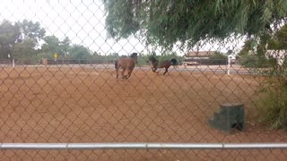 Horses playing with their dogs in the rain