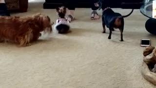 Tiny Yorkie Loves Her Ball