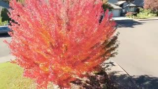 Fall Colors Maple Tree