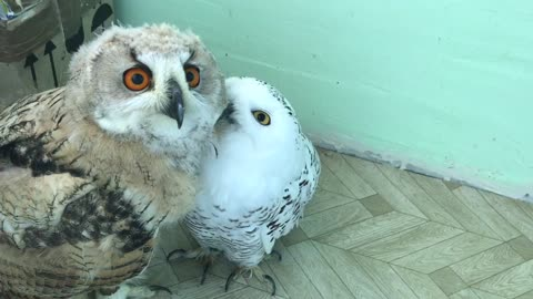Two different species of owls enjoy cuddling together
