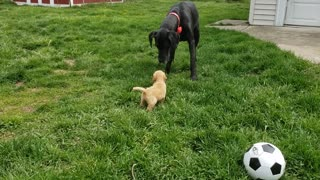 Fearless puppy really wants to play with giant Great Dane