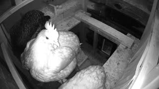 Oops, light timer comes on sleeping chickens.