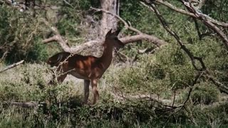 Big Battle Baboon vs Cheetah Baboon Save Impala From CheetahTiger Hunt Buffalo Fail